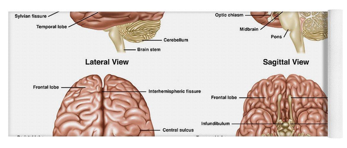 Brain Anatomy Illustration Yoga Mat For Sale By Gwen Shockey