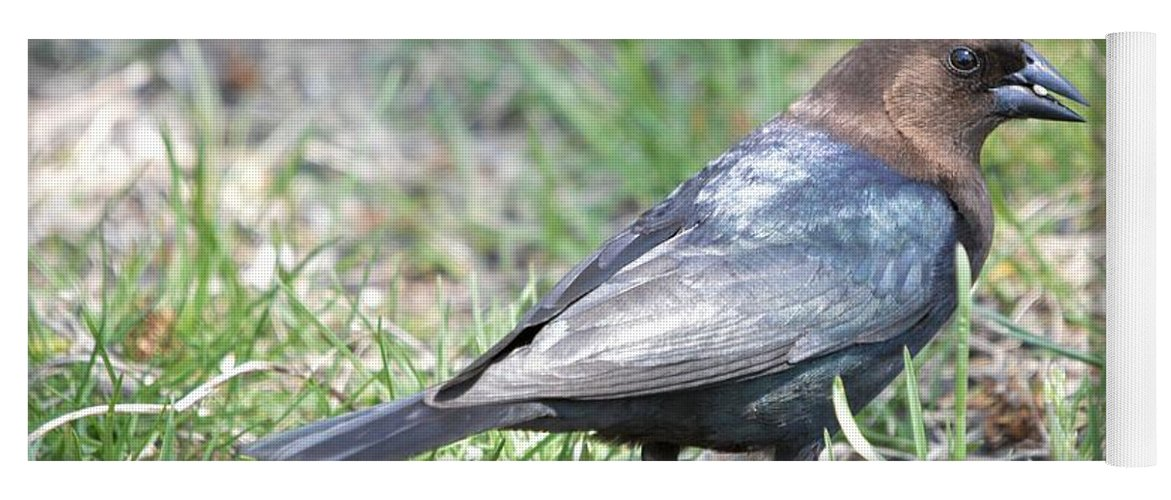 Animal Yoga Mat featuring the photograph Brown-headed Cowbird 2 by Bonfire Photography