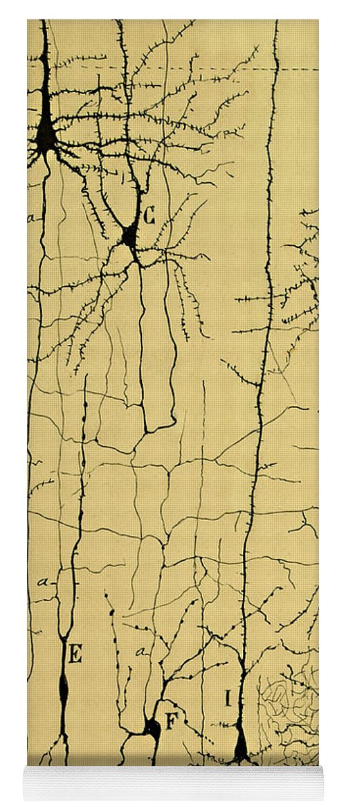Science Yoga Mat featuring the photograph Cajal Drawing Of Microscopic Structure Of The Brain 1904 by Science Source