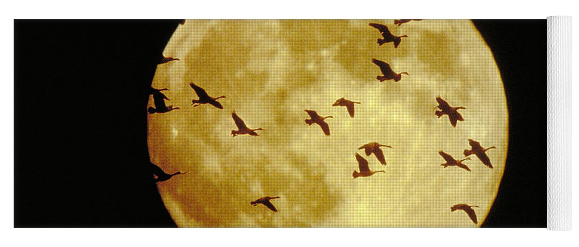 Goose Yoga Mat featuring the photograph Canda Geese And Moon by Kenneth Fink and Photo Researchers