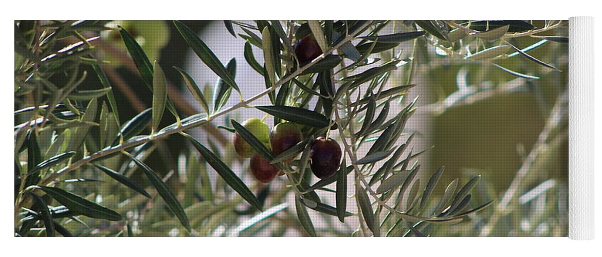 Closeup Of Ripe Olive On Tree Fine Art Photograph