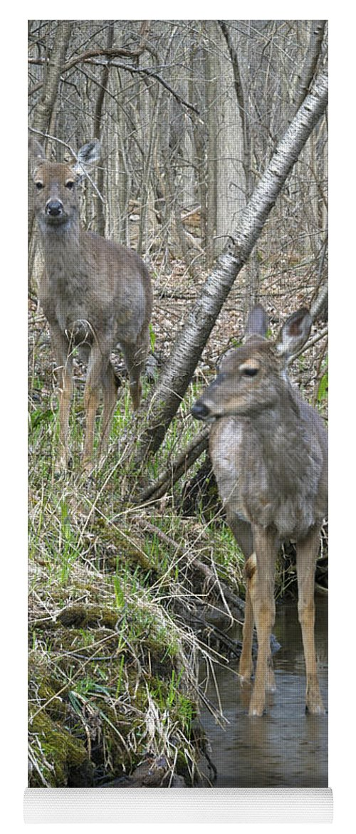 Deer Yoga Mat featuring the photograph Does Strolling Along A Stream by Michael Peychich