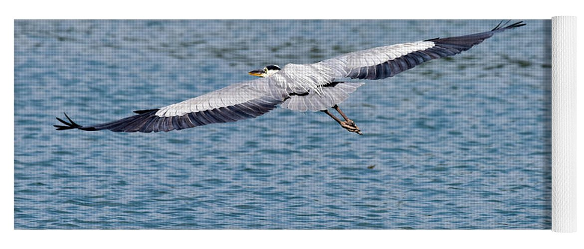 Egret Yoga Mat featuring the photograph Great Blue Heron In Flight by Paul Quinn