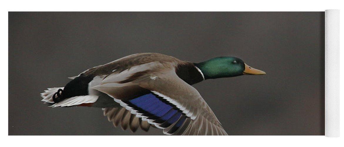Mallard Yoga Mat featuring the photograph Mallard Duck in Flight Artsy2 by Nikki Vig