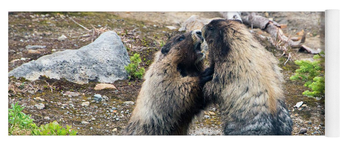 Hoary Marmots Yoga Mat featuring the photograph Marmot Battle by Mike Dawson