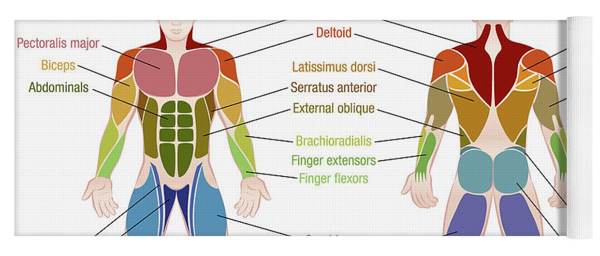 Muscle Diagram Male Body Names Yoga Mat for Sale by Peter Hermes Furian