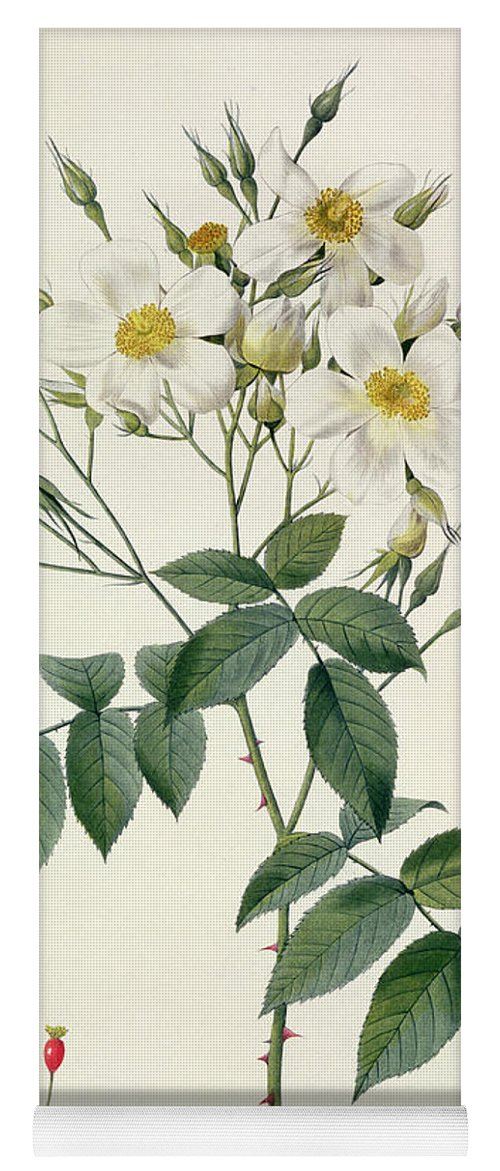 Rosa Yoga Mat featuring the drawing Musk Rose by Pierre Joseph Redoute