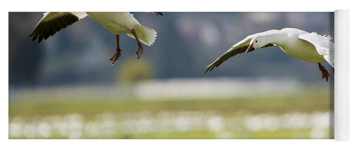 Snow Geese Yoga Mat featuring the photograph On Approach by Mike Dawson