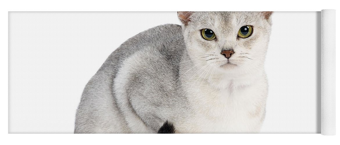 Silver Abyssinian Cat For Sale