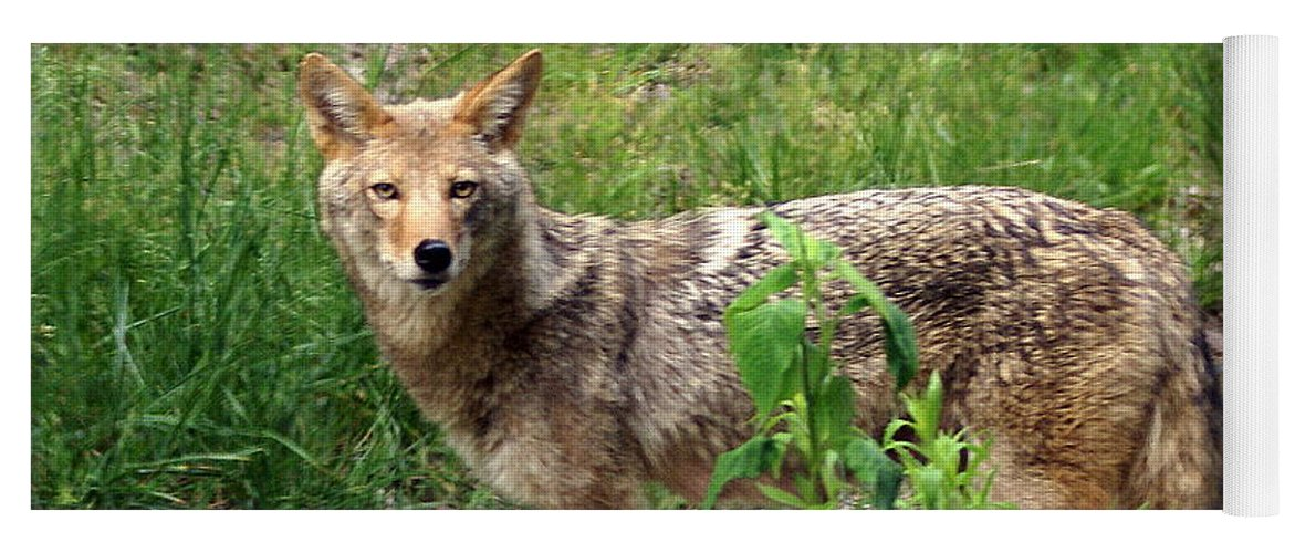 Cpyote Yoga Mat featuring the photograph Wiley Coyote by Marty Koch