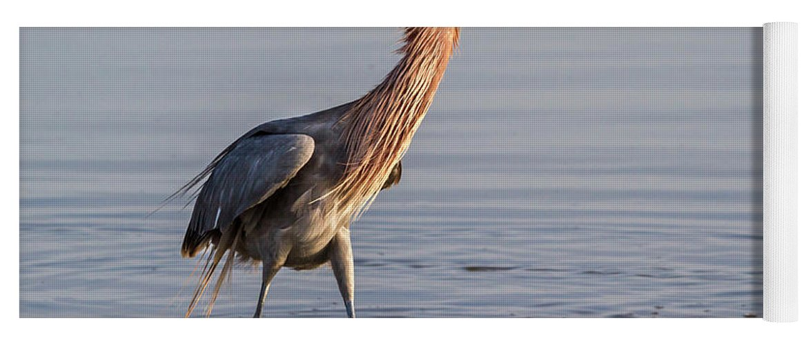 American Fauna Yoga Mat featuring the photograph Reddish Egret In Breeding Plumage by Ivan Kuzmin