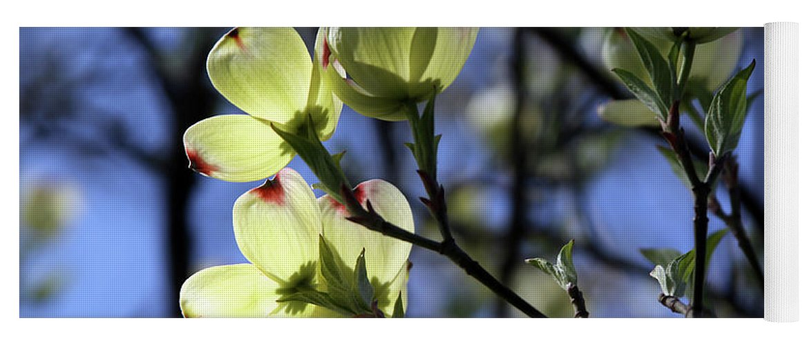 Dogwood Tree Yoga Mat featuring the photograph Dogwood in Sunlight by John Lautermilch
