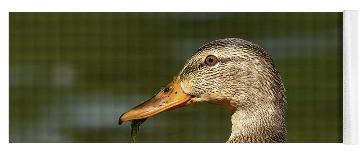 Mallard Yoga Mat featuring the photograph Female Mallard With Seaweed in Mouth by Nikki Vig