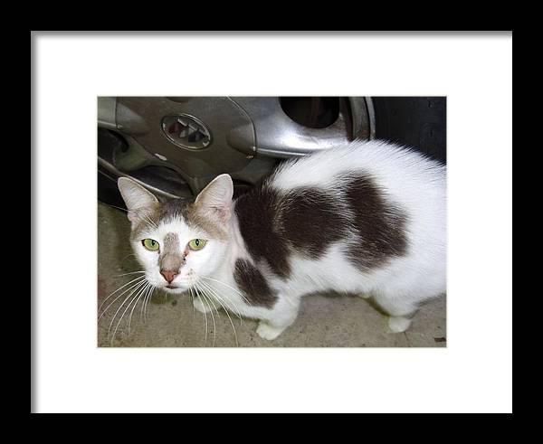 Feral Cat Who Lives In My Garden And Carport. Framed Print featuring the photograph   Feral Cat And Hubcap by Trudy Brodkin Storace