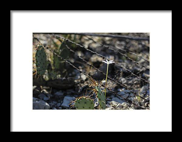 Flower Framed Print featuring the photograph A Flower Among Thorns by Amber Kresge