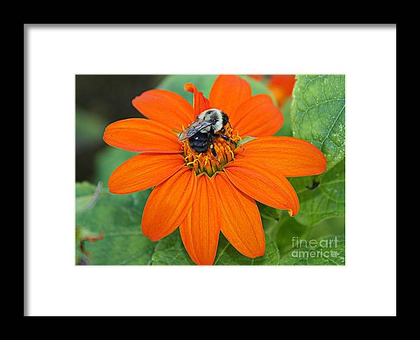 A Taste Of Honey - Florals - Bees - Nature - Mexican Daisies Framed Print featuring the photograph A Taste Of Honey by Dora Sofia Caputo Photographic Design and Fine Art