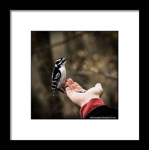 Usa Framed Print featuring the photograph Downy Woodpecker In Hand by LeeAnn McLaneGoetz McLaneGoetzStudioLLCcom
