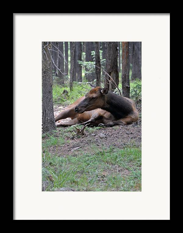 Montana Framed Print featuring the photograph Elk In Yellowstone Park by Larry Stolle