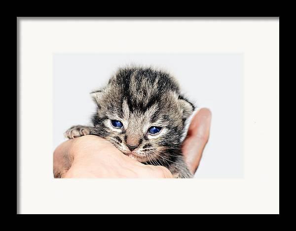 Cat Framed Print featuring the photograph Kitten In A Hand by Susan Leggett