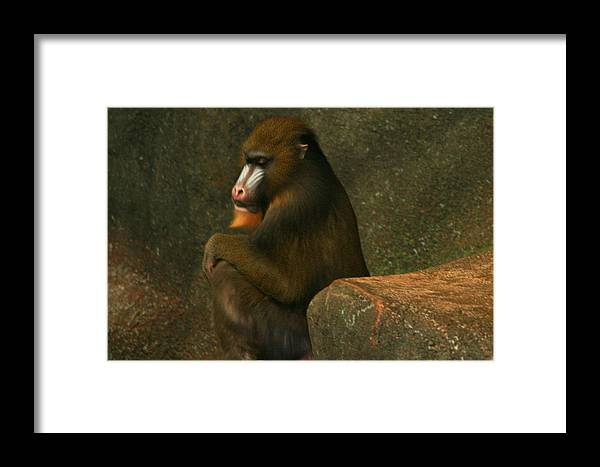 Animal Antics Framed Print featuring the photograph Mind Of A Mandrill by Raymond Mays