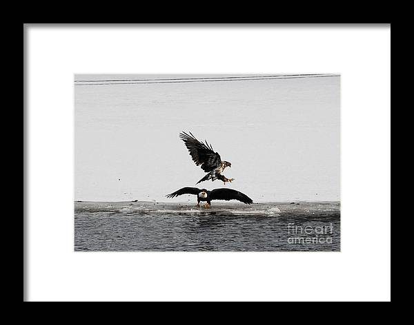 Bald Eagles Framed Print featuring the photograph Missed Me by Robert Smice