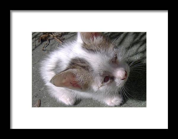 Mother Cat Brought This Teeny White And Black Kitten Out To The Patio For The First Time This Morning. Framed Print featuring the photograph  New Kitten's Debut by Trudy Brodkin Storace