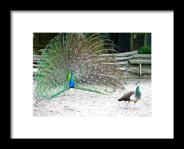 Peacocks Framed Print featuring the photograph Peacock Making An Impression by Jeanne Kay Juhos