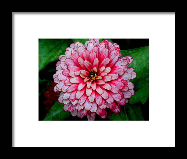 Pink Flower Framed Print featuring the photograph Pink Flower by Donna Shaw