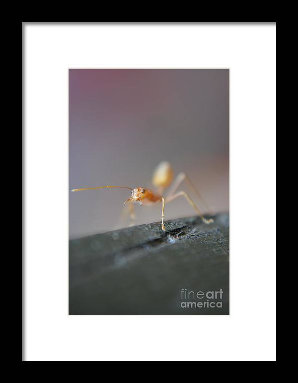 Michelle Meenawong Framed Print featuring the photograph Red Ant by Michelle Meenawong