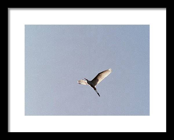 Egret Framed Print featuring the photograph 070406-25 by Mike Davis