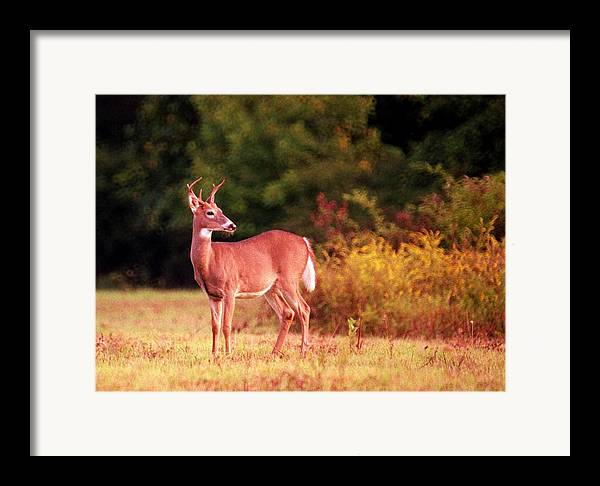 Deer Framed Print featuring the photograph 070406-58 by Mike Davis