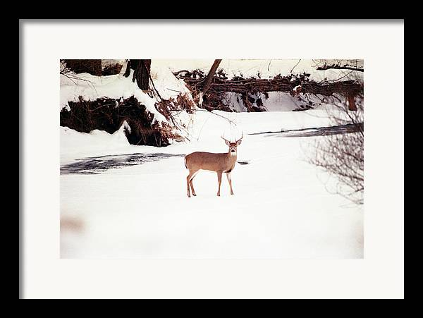 Whitetail Deer Framed Print featuring the photograph 080706-89 by Mike Davis