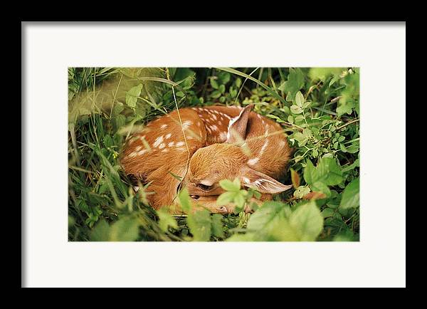 Deer Framed Print featuring the photograph 080806-17 by Mike Davis