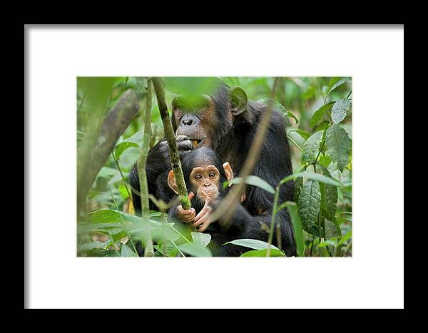 Africa Framed Print featuring the photograph Africa, Uganda, Kibale National Park by Kristin Mosher