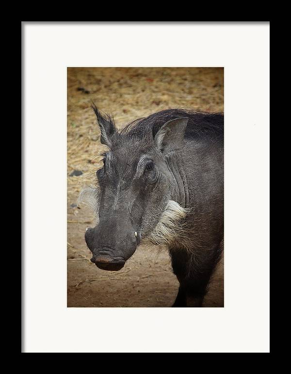Boar Framed Print featuring the photograph African Boar by Dave Hall