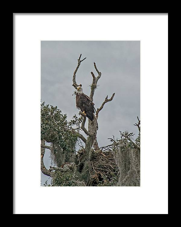 Bald Eagle Framed Print featuring the photograph American Bald Eagle by John Black