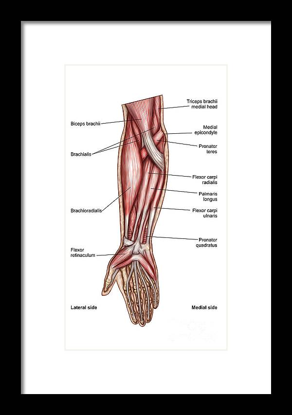 Anatomy Of Human Forearm Muscles Framed Print By Stocktrek Images