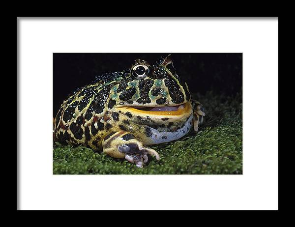 Amphibia Framed Print featuring the photograph Argentine Horned Frog by Richard Hansen