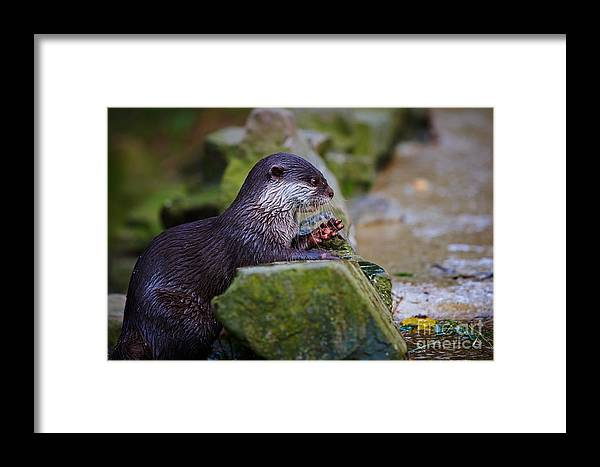 Asian Framed Print featuring the photograph Asian Small Clawed Otter by Nick Biemans