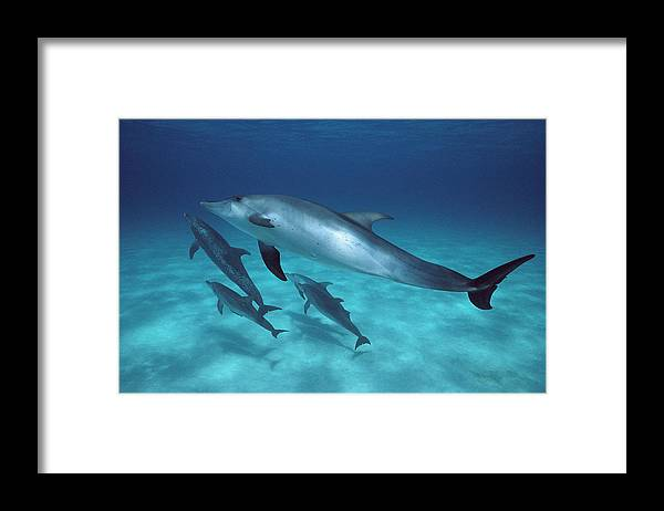 Feb0514 Framed Print featuring the photograph Atlantic Spotted Dolphin Pod Bahamas by Flip Nicklin