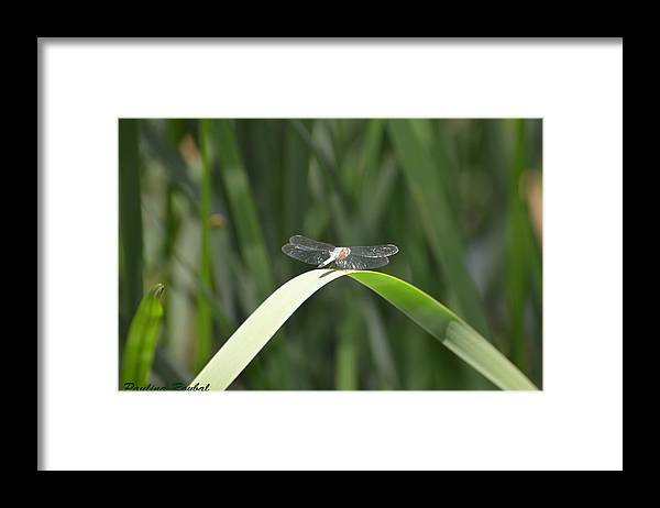 Dragonfly Framed Print featuring the photograph Balance by Paulina Roybal