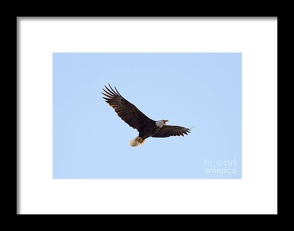 Eagle Framed Print featuring the photograph Bald Eagle Calling by Lori Tordsen
