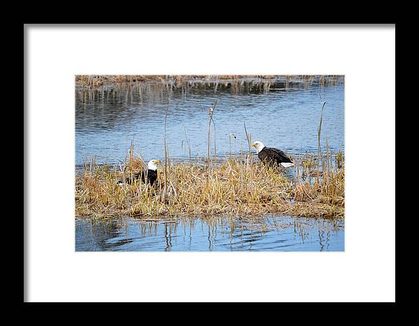 Bald Eagle Framed Print featuring the photograph Bald Eagle Pair by Thomas Phillips