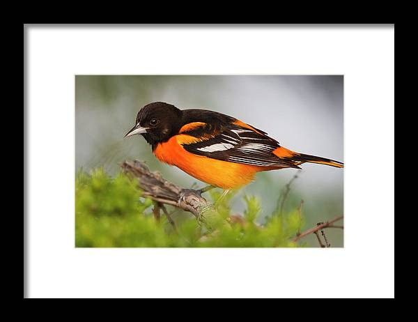 Adult Framed Print featuring the photograph Baltimore Oriole Foraging by Larry Ditto