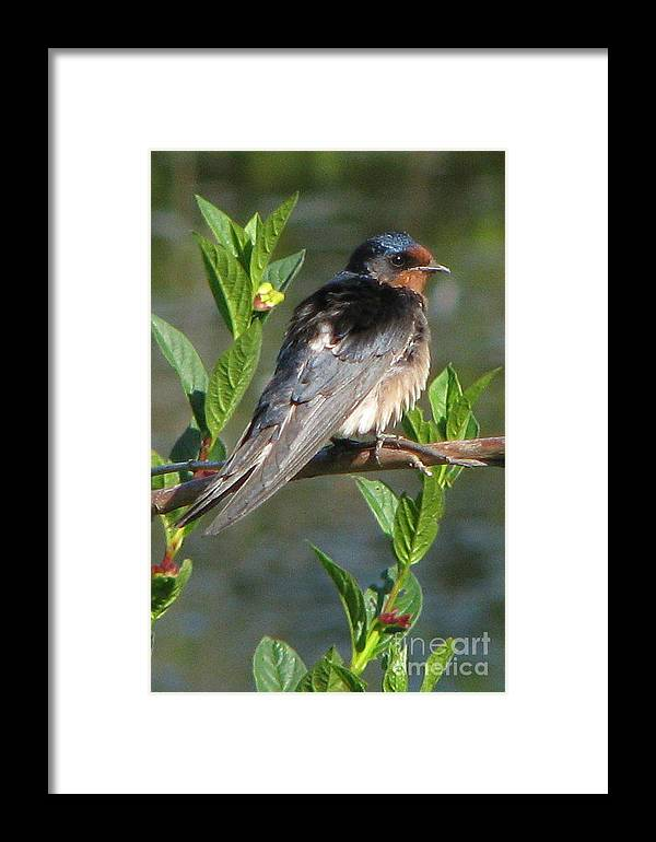 Barn Swallow Framed Print featuring the photograph Barn Swallow by Frank Townsley
