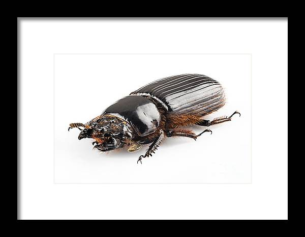 Animal Framed Print featuring the photograph Beetle Aceraius Grandis by Pablo Romero