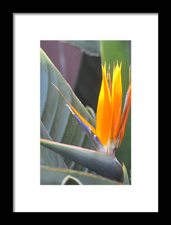Flower Framed Print featuring the photograph Bird Of Paradise by Jay Milo