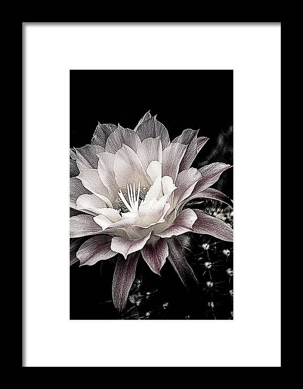 Cactus Framed Print featuring the photograph Blooming Cactus by Julie Palencia