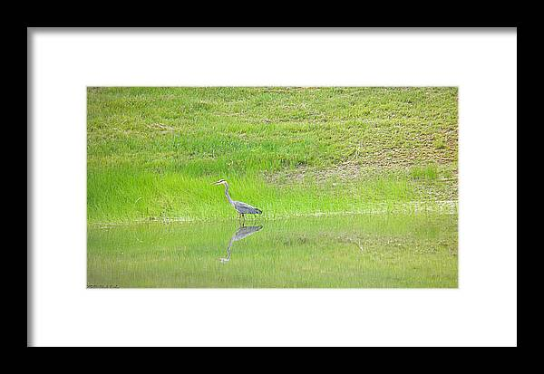 Blue Framed Print featuring the photograph Blue Heron by Nick Kirby