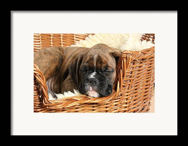 Nature Framed Print featuring the photograph Boxer Puppy by Mark Taylor